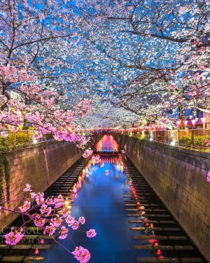 Sakura Bloom - Japan - Flowers - Landscape Photography
